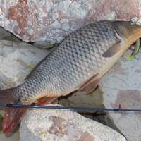 10 lb Carp, (Stump J3) Katarapko Creek, [no date]