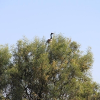 A bird pictured atop a tree, Upper Darling region, [n.d]
