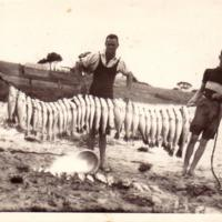 Mulloway netted in Finniss Lake, 1930s