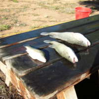 Murray Cod, Darling River, near Pooncarie (NSW), [no date]