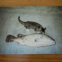 Murray Cod pictured next to a cat, n.d.