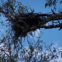 Birds nest (Eagle?), Bowenville Reserve, 2010