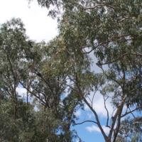 Birds nest (Eagle?), Bowenville Reserve, Queensland, 2010