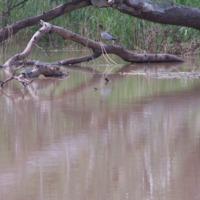 Wood duck, Bowenville Reserve, 2010