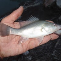 Callop caught with Chubby lure, Katarapko, 2007-04-26