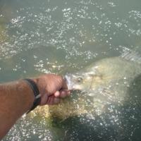 Fish being released, Katarapko, 2006-12-06