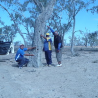 Three people showing the scar on the Aboriginal scarred tree, [n.d]