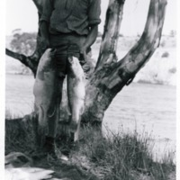 From family archive of Barry Porter, Murray Cod catch, near Berri, South Australia, circa 1950s