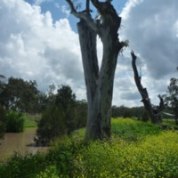 Riparian vegetation, Condamine River, 2010