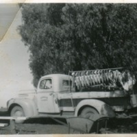 Yellowbelly catch on truck, 1940s