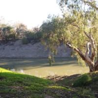 A Red River Gum tree pictured near the steep banks of the Darling River, n.d.