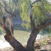 River Red Gum tree by the Darling river, [n.d.]