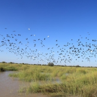 A flock of birds flying over flood waters in the Upper Darling region, [n.d]