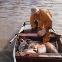 John Aston with fish catch, Murray River, 1981