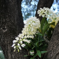 A flowering plant, photographed at the Jamaeson property, 2010