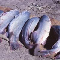 Murray Cod catch, Paroo River, Queensland, 1960s