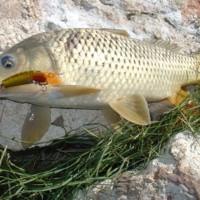 6 lb Carp, (Stump J3) Katarapko Creek, [no date]