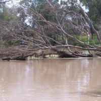 Debris on a fallen Red River Gum, Bowenville Reserve, 2010