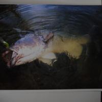 Murray Cod caught with lure, Corowa Anglers Club, [no date]