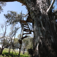 Ladder on a tree leading up to cable car, by the Namoi River, n.d.