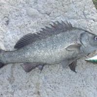 Silver Perch caught using Daiwa rod, Katarapko, [no date]