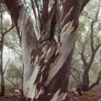 River Red Gum on the Culgoa River (NSW), [no date]