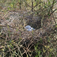 Eggs in a nest, [n.d]