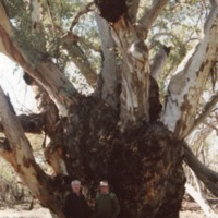 Peter Petersen (R) in front of River Red Gum at Brenda Station (NSW), [no date]
