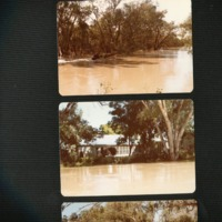 Taking stock feed up flooded Culgoa River (NSW), 1983