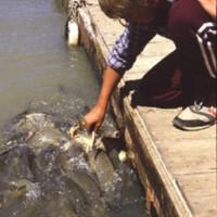 Carp feeding, Katarapko, [no date]