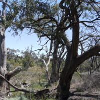 Trees on the Grace property, Great Anabranch, 2010