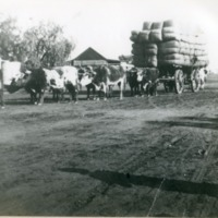 Wool load, transported by cattle from Eulo to Cunnamulla, Queensland, circa 1920s