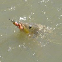 Carp caught with Storm HotnTot lure, Katarapko, [no date]