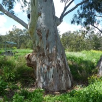 River Red Gum, Condamine River, 2010