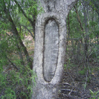 Scar Tree near Murray River Anabranch west of Wahgunya, taken by Gary Vines June 2007 (Wikimedia Commons, CC-BY-SA)